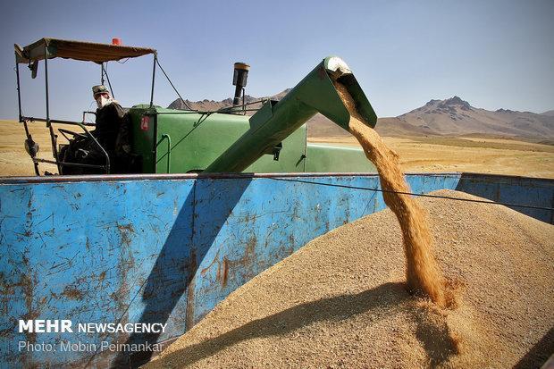 فراوری 12 درصد گندم کشور، 130هزار هکتار اراضی کشاورزی آبی است