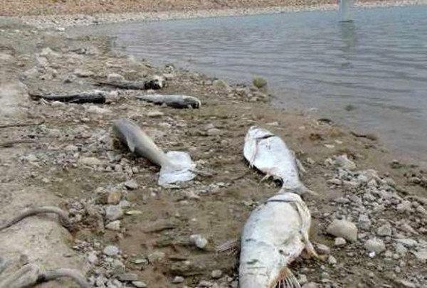پساب شستشوی دام ها، علت تلف شدن آبزیان چولهول