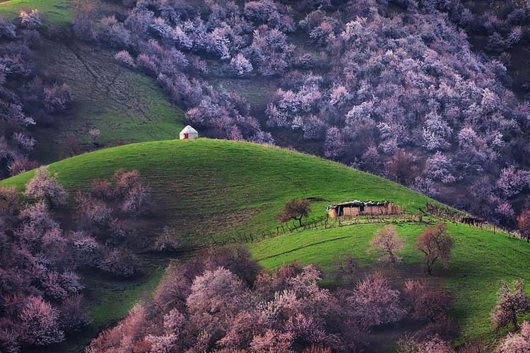 ییلی، دره افسونگر شکوفه های زردآلو در چین