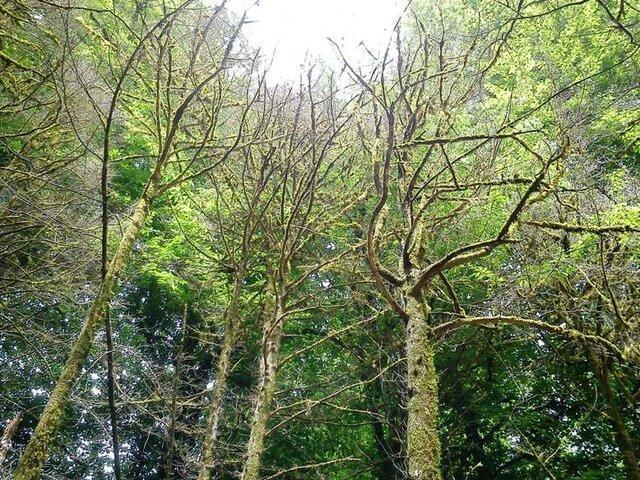 قطع 1000 درخت شمشاد در شمال، اعتبارات حفاظتی سازمان جنگل ها پرداخت نشده است