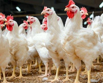 بازار مرغ تعریفی ندارد ، بحران کرونا عامل اصلی زیان مرغداران